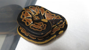 Black Back Ball Python #2
