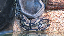 Load image into Gallery viewer, Rescue Ball Python