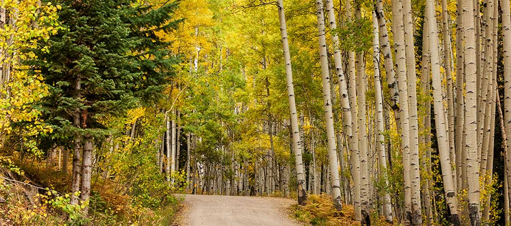 A Road Through the Aspens