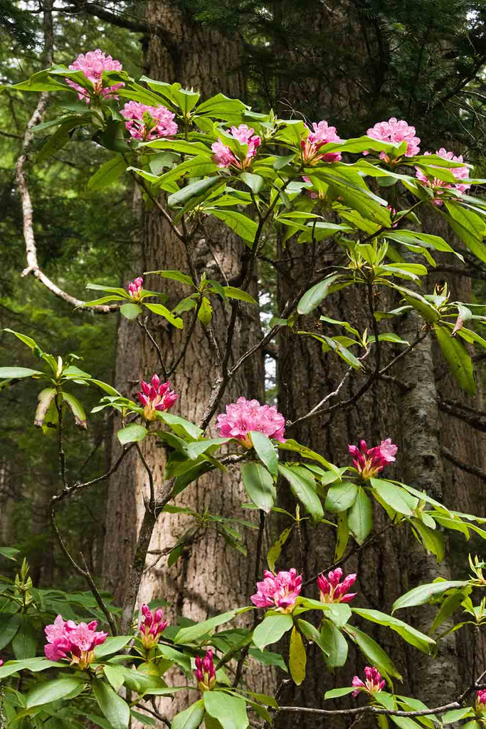 Native Pink Rhododendrons, Washington State