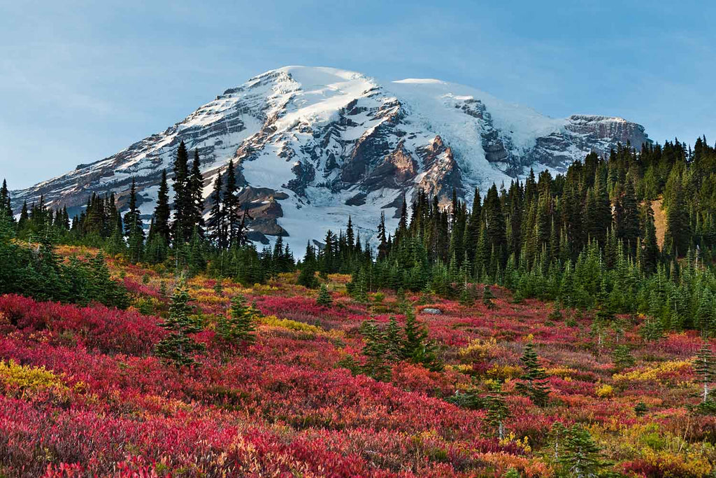 Red Huckleberries at Paradise, Mount Rainier