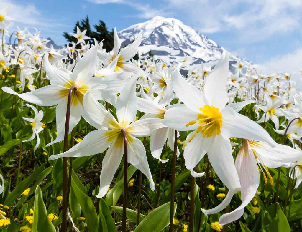 Amid Avalanche Lilies at Mount Rainier