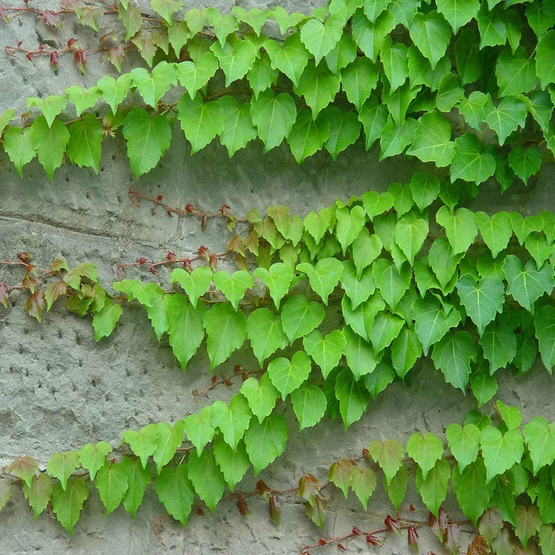 Parthenocissus Flower Seed Creeper Climbing Plant Seed Foliage Plant Flower Seed 200 Pcs True Ivy Bonsai Outdoor Creepers Parthenocissus Tricuspidata Garden Plants Climb A Wall Ace Bonsai