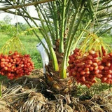Date Palm Seeds (10 Pcs/Pack) Garden Organic Vegetable Delicious Fruit Phoenix Dactylifera Seeds