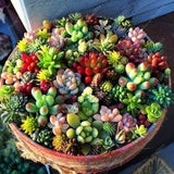 500 Pcs Mix Lithops Seeds Succulent Pseudotruncatella Living Stones Plants Cactus Seed for Home and Garden