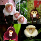 Rare Cute Monkey-faced Flower Plants Seeds100pcs