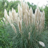 New Rare Impressive Purple Pampas Grass bonsais home garden Plants Flowers Ornamental  bonsais Cortaderia Selloana