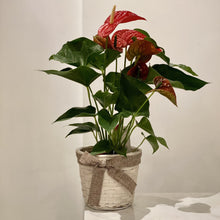 Load image into Gallery viewer, Anthurium Plant
