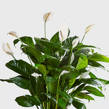 Load image into Gallery viewer, Peace Lily Plant