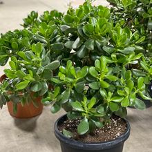 Load image into Gallery viewer, Jade Plant
