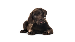 Labrador color Chocolate