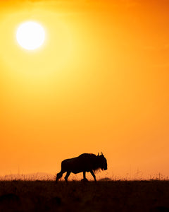 Wildebeest Dawn, 2019
