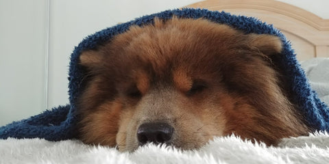 Chow chow under a blanket happy after taking CBD