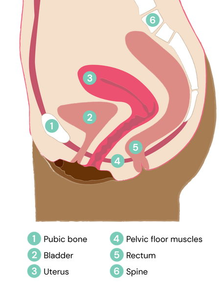 Functions of the pelvic floor supporting pelvic organs