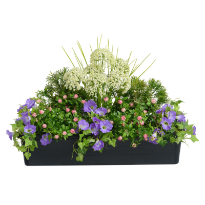 Allium Window Box (Cream)