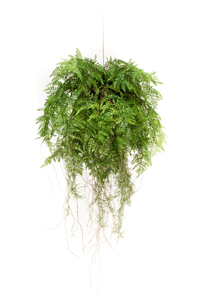 Fern Hanging Basket with Roots - 55cm diameter