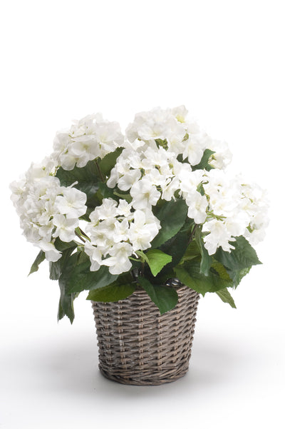 Hydrangea Bush in Wicker Basket - 45cm (White)