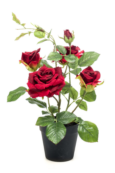 Garden Rose in Pot - 40cm (Red)