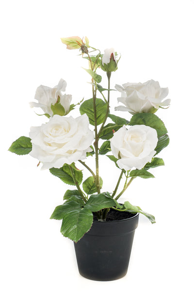 Garden Rose in Pot - 40cm (White)