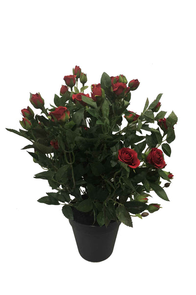 Dark Red Cabbage Rose Bush in Pot - 35cm