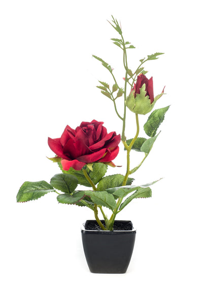 Two Rose Plant in Black Pot - 25cm (Red)