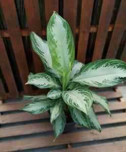 Aglaonema, 10in, Diamond Bay - Floral Acres Greenhouse & Garden Centre