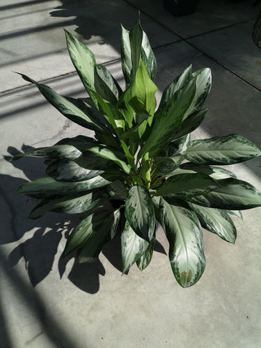 Aglaonema, 10in, Emerald Bay - Floral Acres Greenhouse & Garden Centre