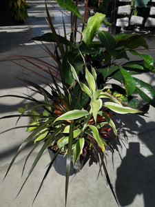 Dracaena, 10in, Combination