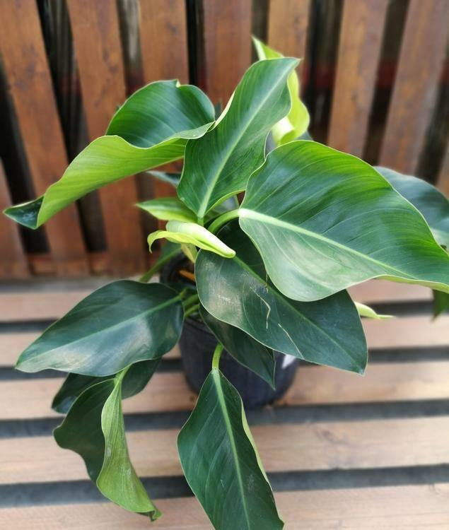 Philodendron, 10in, Little Phil