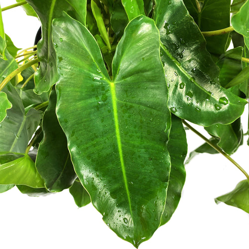 Philodendron, 10in, Burle Marx - Floral Acres Greenhouse & Garden Centre