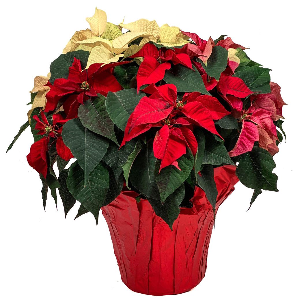 Poinsettia, 10in, Tricolor - Floral Acres Greenhouse & Garden Centre