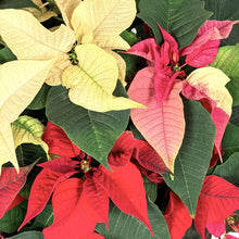 Load image into Gallery viewer, Poinsettia, 10in, Tricolor - Floral Acres Greenhouse & Garden Centre