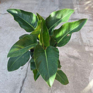 Philodendron, 10in, Imperial Green - Floral Acres Greenhouse & Garden Centre