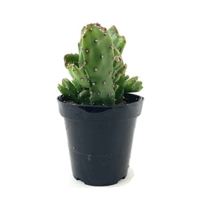 Cactus, 9cm, Josephs Coat, Prickly Pear Collection - Floral Acres Greenhouse & Garden Centre
