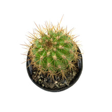 Load image into Gallery viewer, Cactus, 2.5in, Trichocereus Grandiflorus Hybrid