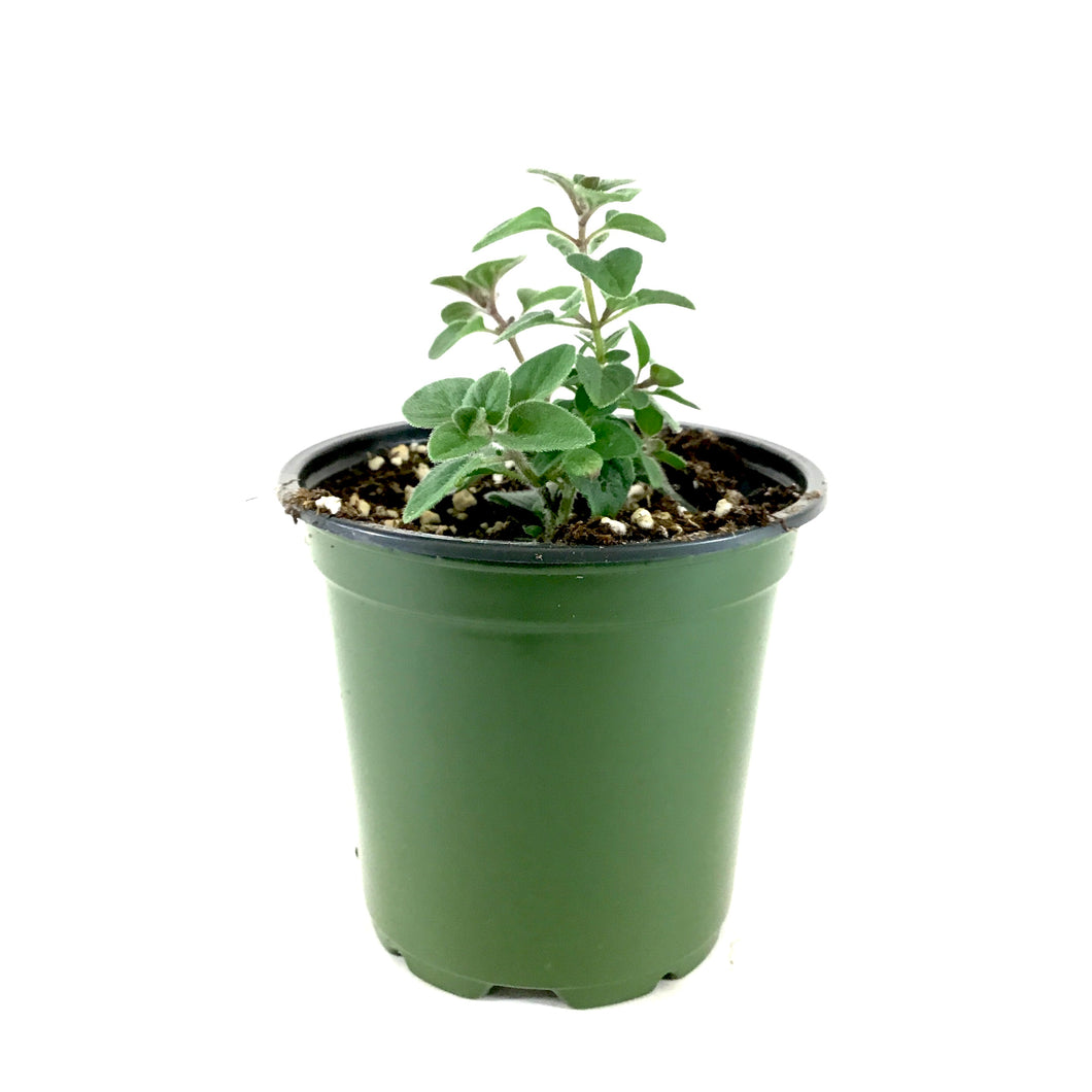 Herb, 4in, Oregano 'Hot & Spicy'