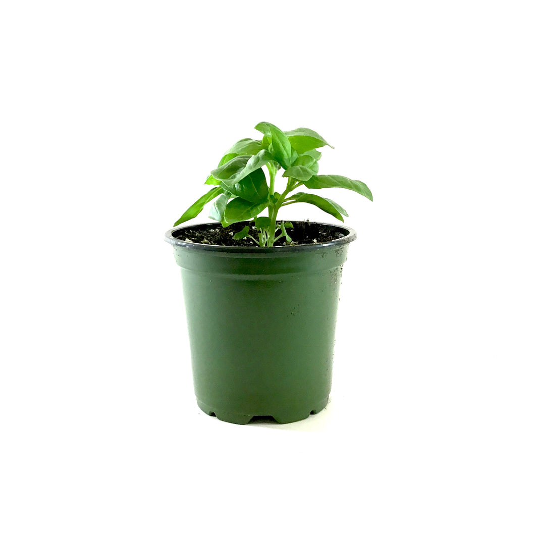 Herb, 4in, Basil, Dolce Fresca - Floral Acres Greenhouse & Garden Centre
