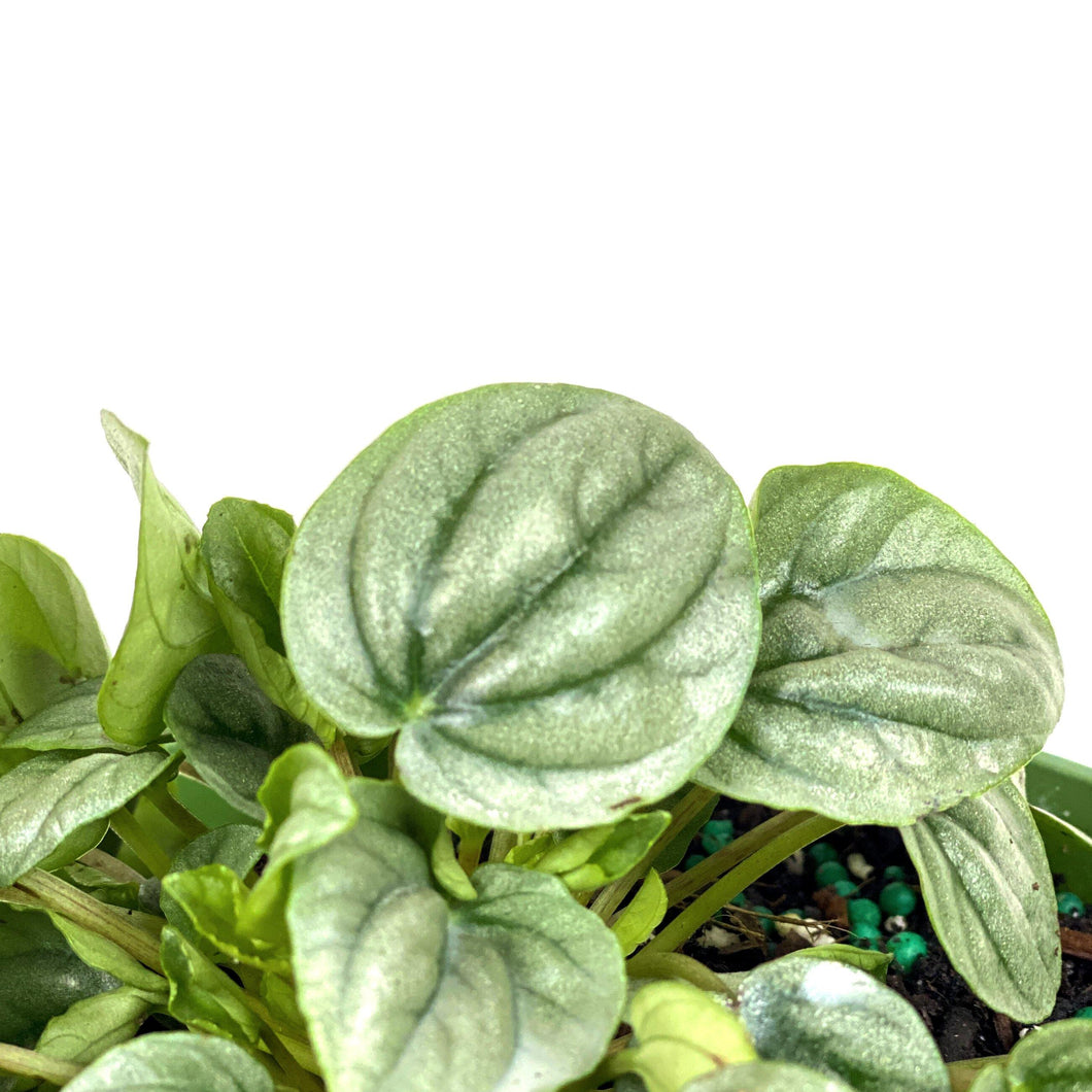 Peperomia, 4in, Silver Frost - Floral Acres Greenhouse & Garden Centre
