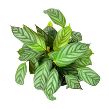 Load image into Gallery viewer, Calathea, 8in, Setosa