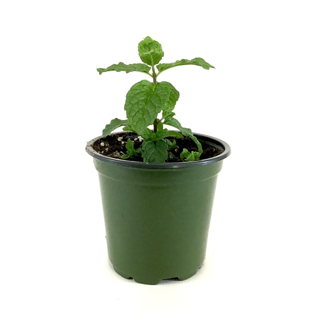 Herb, 4in, Spearmint