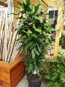Dracaena, 14in, Janet Lind Cane - Floral Acres Greenhouse & Garden Centre