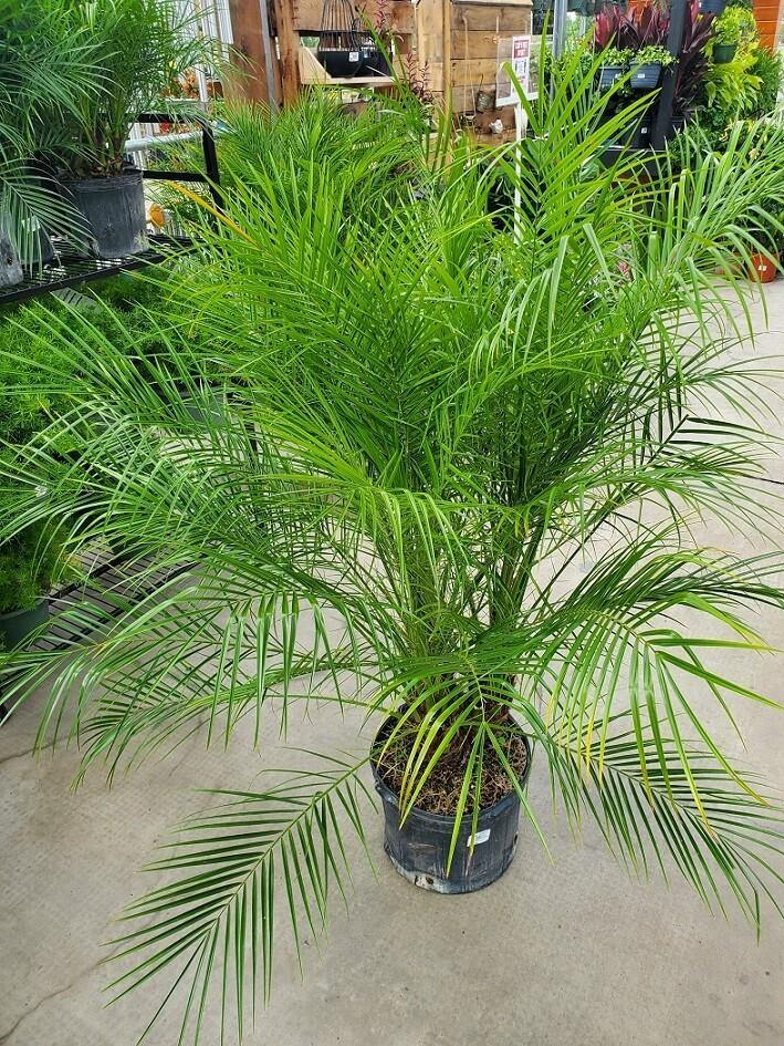 Palm, 14in, Roebelinii - Floral Acres Greenhouse & Garden Centre
