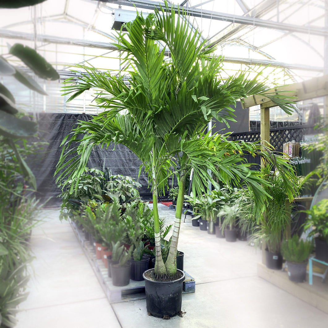 Palm, 17in, Adonidia - Floral Acres Greenhouse & Garden Centre
