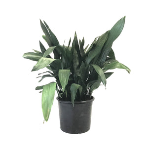Aspidistra, 14in, Cast Iron