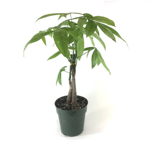 Pachira, 6in, Money Tree Braid