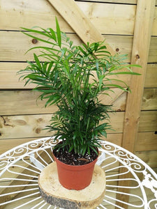 Palm, 6in, Neanthe Bella - Floral Acres Greenhouse & Garden Centre