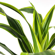 Load image into Gallery viewer, Dracaena, 4in, Lemon Lime - Floral Acres Greenhouse & Garden Centre