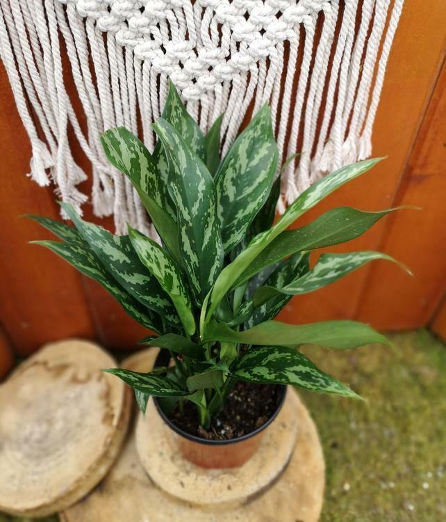 Aglaonema, 6in, Silver Bay
