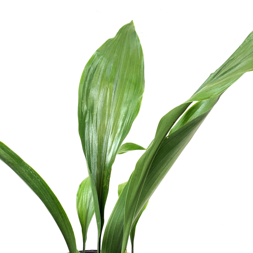 Aspidistra, 6in, Cast Iron - Floral Acres Greenhouse & Garden Centre