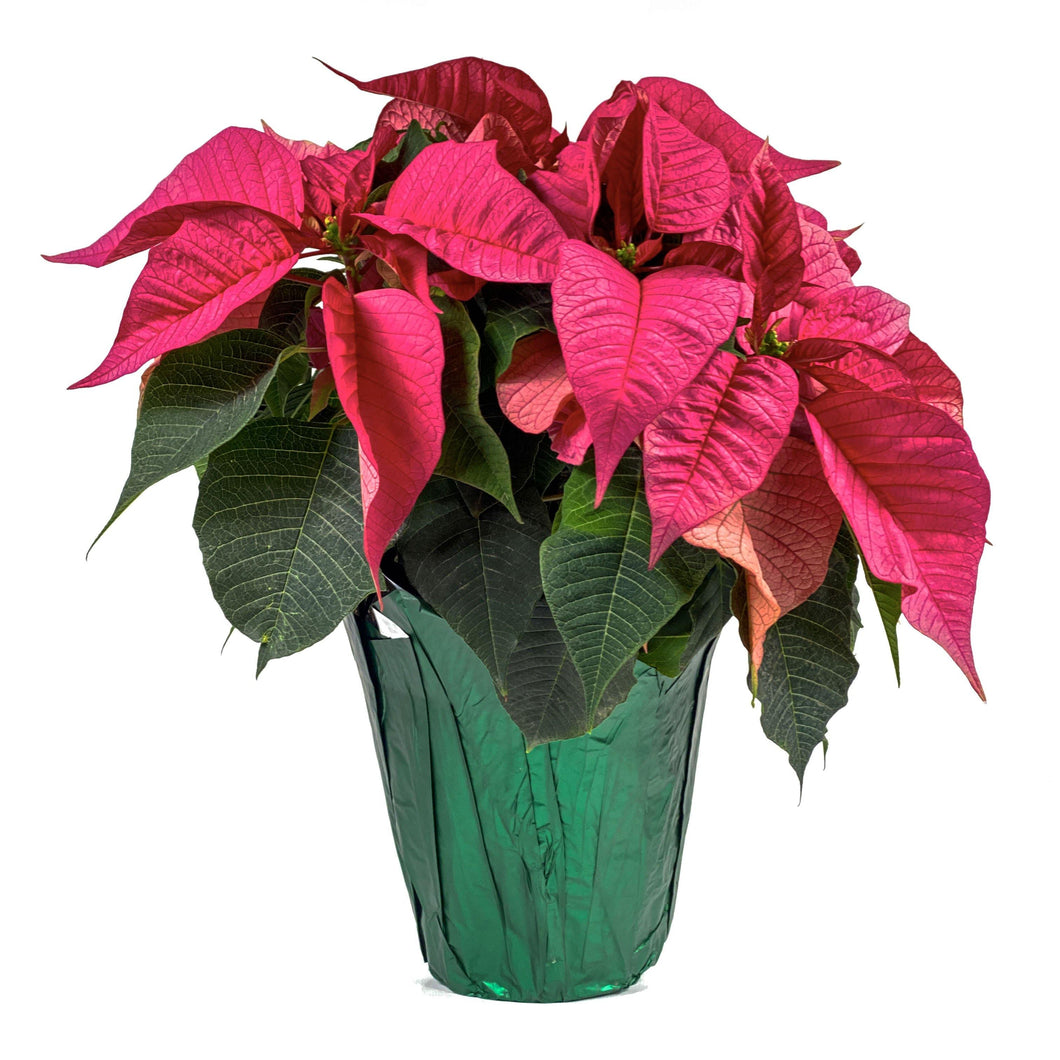 Poinsettia, 6.5in, Pink